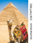 camel at great pyramids in... | Shutterstock . vector #1367497382