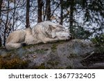 a wolf taking a nap at the... | Shutterstock . vector #1367732405