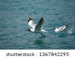 Laughing Gull Hoping From Wate...