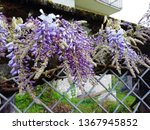 blooming wisteria entwined fence | Shutterstock . vector #1367945852