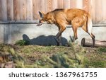 maned wolf. it is a predatory... | Shutterstock . vector #1367961755