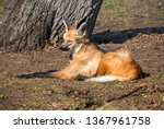 maned wolf. it is a predatory... | Shutterstock . vector #1367961758