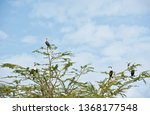 the white breasted cormorant ... | Shutterstock . vector #1368177548
