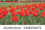 Beautiful Red Tulips in Washington, D.C. in bloom during spring