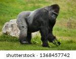 Stock photo western lowland gorilla gorilla gorilla gorilla wild life animal 1368457742