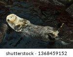sea otter  enhydra lutris ... | Shutterstock . vector #1368459152