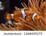 ocellaris clownfish  amphiprion ... | Shutterstock . vector #1368459275