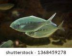 pompano  trachinotus ovatus .... | Shutterstock . vector #1368459278