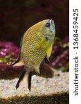 azores chromis  chromis limbata ... | Shutterstock . vector #1368459425
