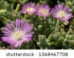 Blooming Common Aster With...
