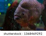 piranha in an aquarium with... | Shutterstock . vector #1368469292