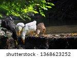 ducks feeding in nature | Shutterstock . vector #1368623252