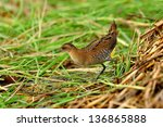 baillon's crake in action with... | Shutterstock . vector #136865888