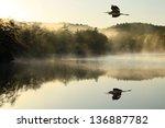 Great Blue Heron Flies Over...