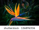 Bird Of Paradise Plant In Full...