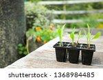 Seedlings Of Glass Gem Corn