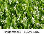 Blooming Lily Of The Valley In...