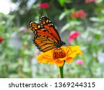 Monarch Butterfly On Zinnia...