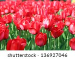 colorful spring flowers tulips... | Shutterstock . vector #136927046