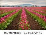 colorful tulip fields in the... | Shutterstock . vector #1369372442