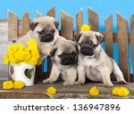 Stock photo pug puppy and kitten 136947896