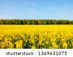 yellow canola field in sunlight.... | Shutterstock . vector #1369631075