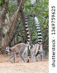 the ring tailed lemur  lemur... | Shutterstock . vector #1369759625