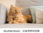Beautiful Ginger Long Hair Cat...