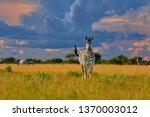 direct view on plains zebra... | Shutterstock . vector #1370003012