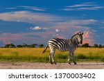 low angle view on burchell's... | Shutterstock . vector #1370003402
