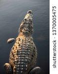 An American Crocodile ...