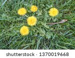 buds  leaves and bright yellow... | Shutterstock . vector #1370019668