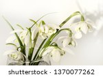 white snowdrops. spring first... | Shutterstock . vector #1370077262