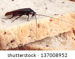 brown cockroach on a piece of... | Shutterstock . vector #137008952