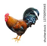 colorful male rooster isolated... | Shutterstock . vector #1370095445