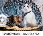 Stock photo cat and dog dachshund puppy chocolate merle color and kitten regdoll kitten and puppy 1370165765