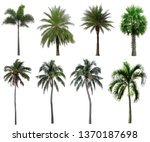 Collection Coconut Palm Trees Isolated - Fine Art prints