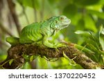 Green Iguana  Also Known As Th...