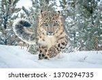 Snow Leopard In Winter