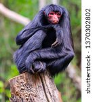 Red Faced Spider Monkey  ...