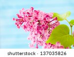 Lilac branch on blue   background. selective focus - stock photo