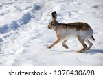 Stock photo hare runs on white snow in winter 1370430698