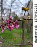 Western Red Bud Flowering Tree  ...