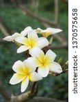 white plumeria flower in nature ... | Shutterstock . vector #1370575658