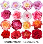 the rose blooms | Shutterstock . vector #137068976