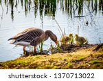 the european greylags goose... | Shutterstock . vector #1370713022