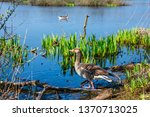 the wild greylag goose in the... | Shutterstock . vector #1370713025