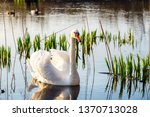 white swan in the lake at the... | Shutterstock . vector #1370713028