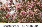 saucer magnolia also known as... | Shutterstock . vector #1370802005