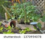 tomato plants and lettuce... | Shutterstock . vector #1370954078